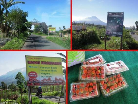 Agrowisata Banyuroto Petik Stawbery Sendiri