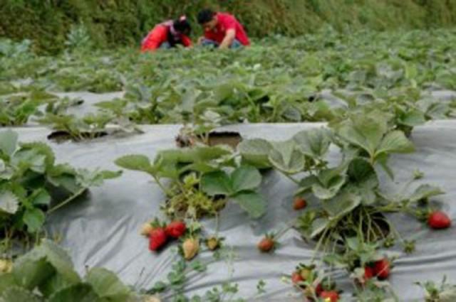 Tanaman Strawberry Agrowisata Banyuroto