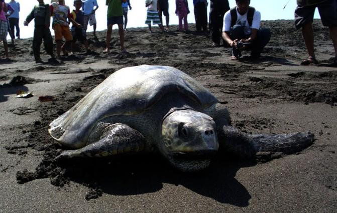 Penyu Pantai Trisik Menyimpan Pesona Alam Laut Yang Indah di Kulonprogo